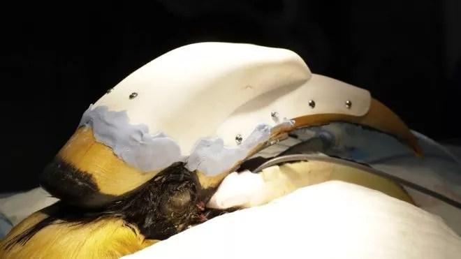 Jary usará a prótese até seu bico se recuperar (Foto: WILDLIFE RESERVES SINGAPORE via BBC News Brasil)