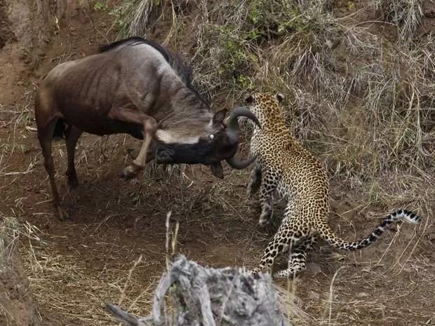 Leopardo acabou se dando mal ao atacar gnus (Foto:  Vadim Onishchenko/Caters)