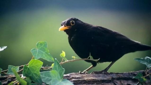 O Melro-preto tem um bico mais curto e canta em um tom mais alto do que seus parentes da floresta — Foto: SCIENCE PHOTO LIBRARY/BBC