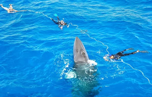 Cientistas marcam baleias encontradas próximas à Grande Barreira de Coral. (Foto: AFP Photo/Minke Whale Project/Matt Curnock)