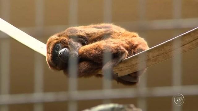 Macacos servem de hospedeiros do vírus da doença (Foto: Reprodução/TV TEM )