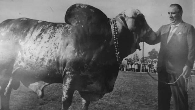 Cid com o touro Krishna-Sakina, o Krishninha, um dos maiores reprodutores da história da pecuária nacional (Foto: BBC)