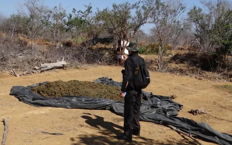 Pés de maconha foram alvos de operação da PF na Bahia (Foto: Divulgação/Polícia Federal)