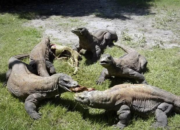 Dragões-de-Komodo adultos se alimentam em zoológico na Indonésia (Foto: Juni Kriswanto/AFP)