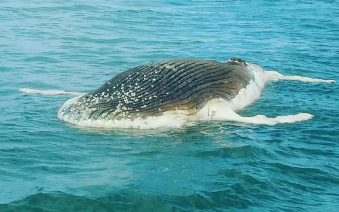 Filhote de baleia jubarte de 7 metros foi encontrado morto na Bahia (Foto: Empresa Luanda Turismo)
