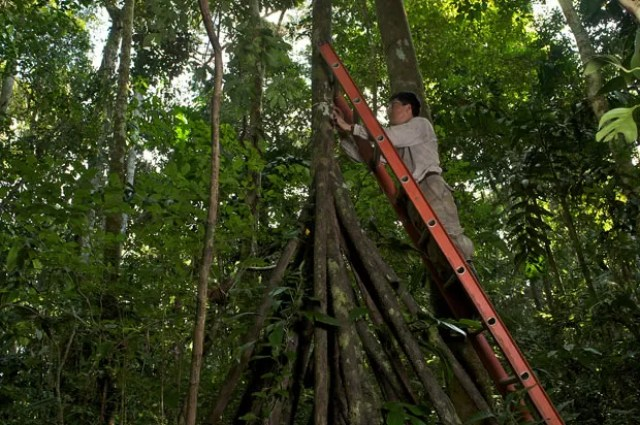 Psquisador mede diâmetro de árvore da Amazônia no Peru (Foto: Jake Bryant/Nature)