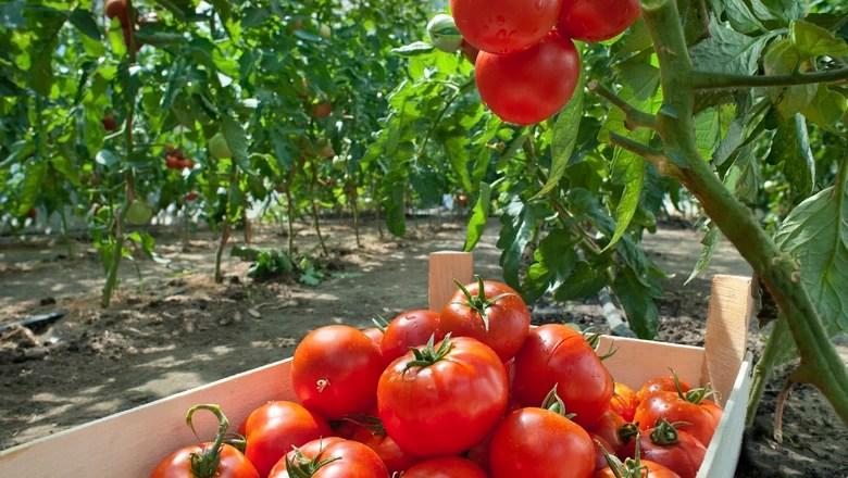 Resultado de imagem para produção de tomate