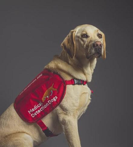 A cachorrinha Tala, da raça labrador, foi treinada para detectar a Covid-19 em um estudo no Reino Unido. — Foto: Neil Pollock/MDD