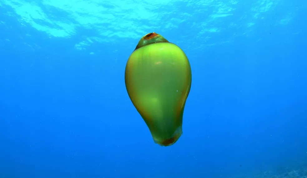 Segundos especialista, registro é de um ovo de tubarão-lixa — Foto: Renato Magalhães/Ciliares