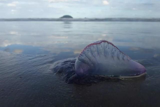 Animais têm tentáculos com substâncias urticantes — Foto: Arquivo Pessoal/Edson Ventura