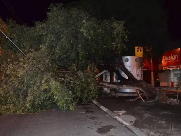 Árvore interditou avenida no centro da capital (Foto: Marcelo Marques/ G1 RR)
