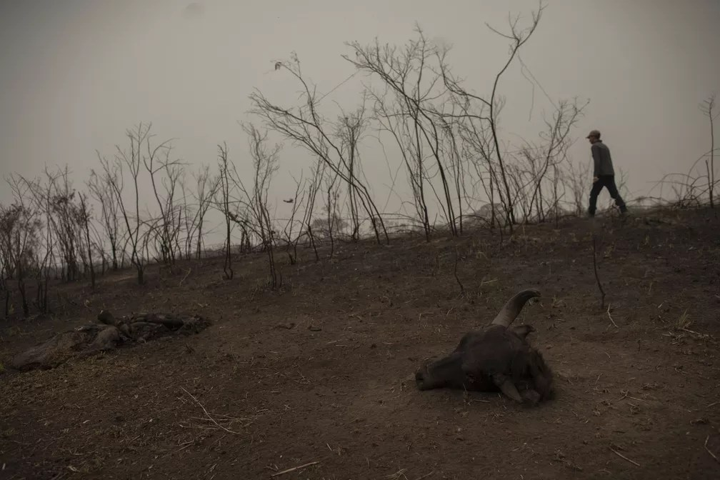 Guia de turismo passa por búfalo morto em meio a área queimada enquanto procura sinais de um jaguar machucado no Pantanal de Mato Grosso, no dia 13 de setembro. — Foto: Mauro Pimentel/AFP