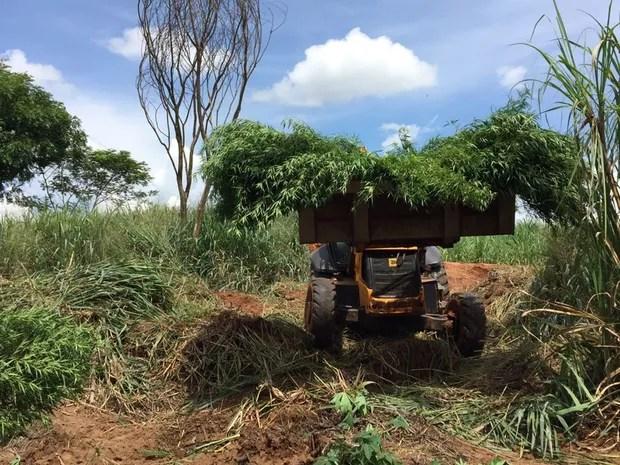 Trator ajudou a arrancar a plantação de maconha em Catiguá (Foto: Fernando Daguano/TV Tem)