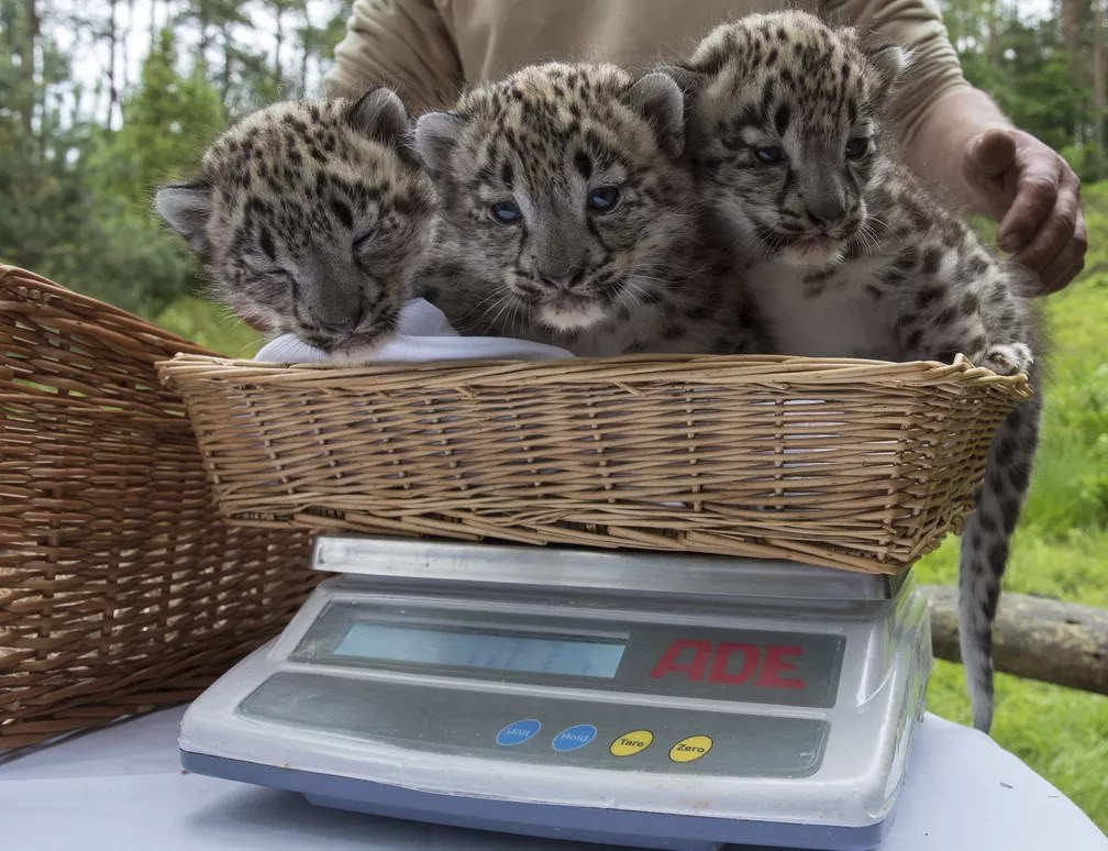 8 de junho - Três filhotes da espécie leopardo-das-neves, nascidos há 32 dias, são pesados no Wildpark Lueneburger Heide, em Nindorf-Hanstedt, na Alemanha  (Foto: Ingo Wagner/dpa via AP)
