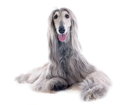 Cão da Afghan Hound (Foto: thinkstockphotos)
