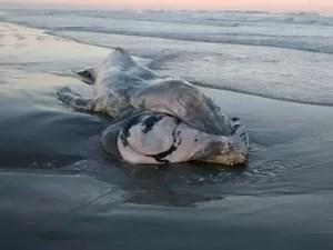 Animal encontrado é da espécie jubarte e mede 6,8 m (Foto: Divulgação/Prefeitura de Ilha Comprida)