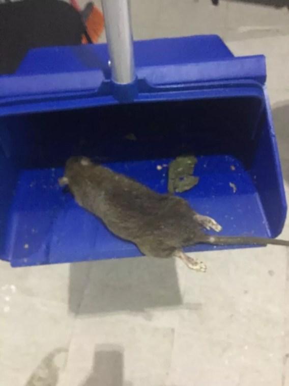 Rato morto sendo recolhido de empresa fornecedora de alimentos na Avenida Brasil — Foto: Reprodução/Arquivo Pessoal