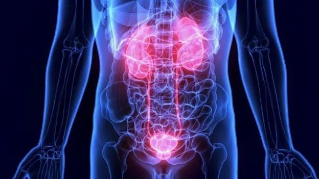 Os rins são dois órgãos em forma de feijão que filtram as toxinas do sangue e transformam os resíduos em urina (Foto: Getty Images via BBC News Brasil)