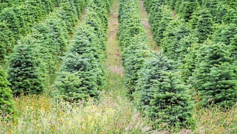 pinheiro-natural-tuia-natal-árvore-arvore (Foto: Thinkstock)