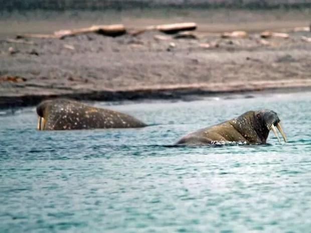As morsas também estão entre os bichos fotografados pelo brasileiro (Foto: Francisco Mattos)