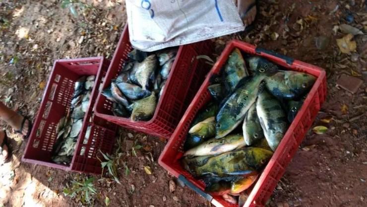 Peixes que foram apreendidos durante a ação policial (Foto: Divulgação/Polícia Ambiental)