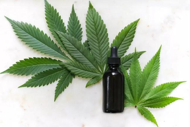 Planta de 'Cannabis sativa', da qual é possível extrair o canabidiol — Foto: Kimzy Nanney/Unsplash