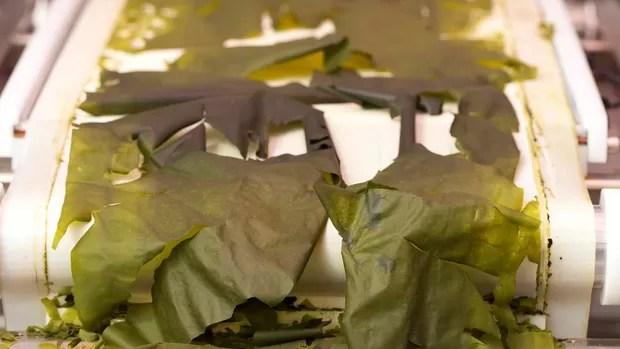 Alga genéticamente modificada (Foto: Divulgação/See Algae Technology)