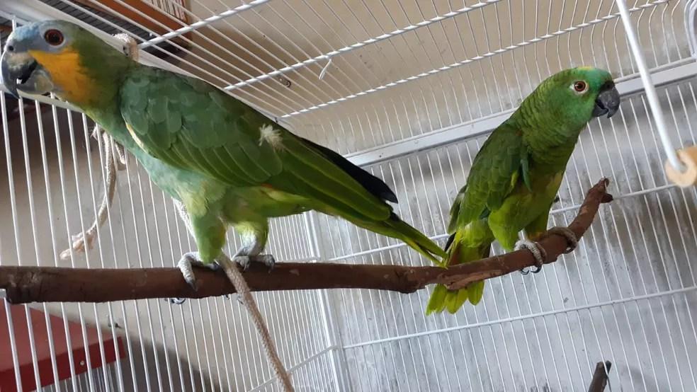 Papagaios-verdadeiros foram apreendidos em casa no Bairro São Benedito  — Foto: Cláudio Yudi/Arquivo Pessoal