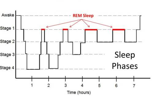 During a nights sleep we rotate through sleep cycles with phases of REM sleep becoming longer each cycle