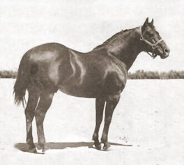 King P-234, born in 1932, was one of the foundation sires of the breed.