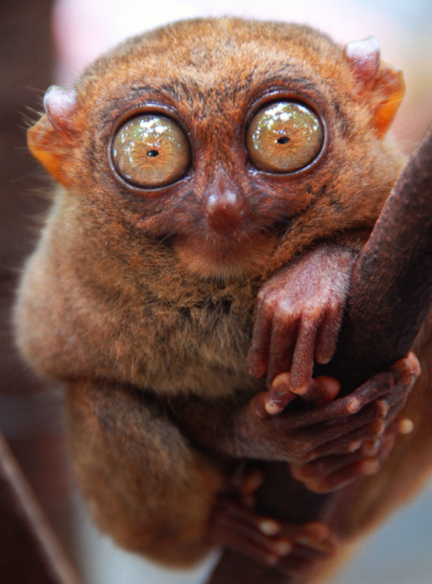 An interesting creature called the Tarsier, found only in Bohol