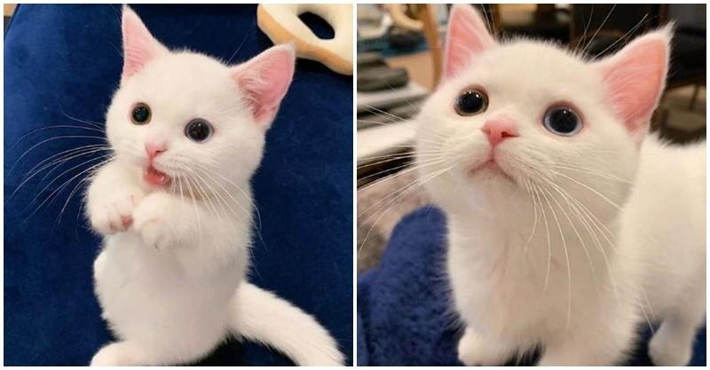 牛奶做的貓!純白小奶貓「天使臉孔」超吸粉 「呆萌吐舌」網心動:好想吸一口~ - 人生向前走