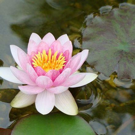 Lotus inspires stent designers