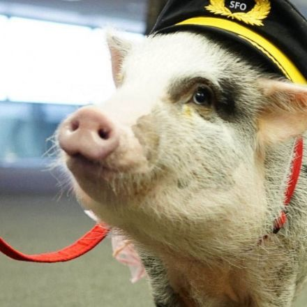 To help airport passengers deal with anxiety San Francisco airport has hired the first therapy Pig.