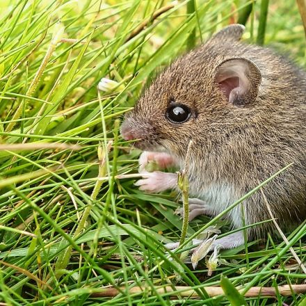 'Meditating mice' reveal secrets of mindfulness training