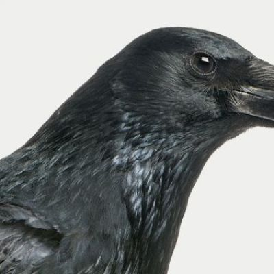 Why Neuroscientists Need to Study the Crow