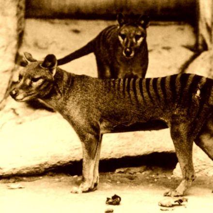 Thylacines: Getting Inside the Head of an Extinct Predator