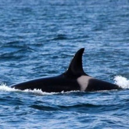 'Shocking' levels of PCB chemicals in UK killer whale Lulu