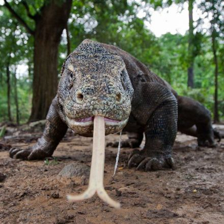 Here be dragons: the million-year journey of the Komodo dragon