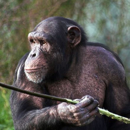 Chimpanzees hunting for honey are cleverer than we thought