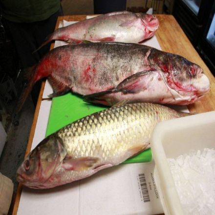 Grass carp have invaded three of the Great Lakes, study says