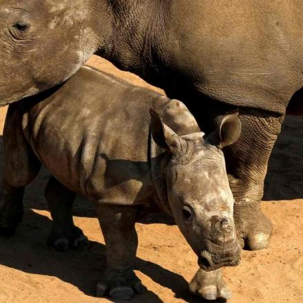 South Africa lifts ban on domestic rhino horn sales