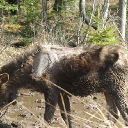 Moose in New England face grisly deaths from tick infestations