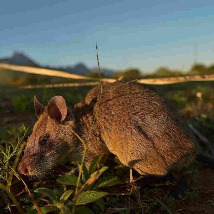 In March Mammal Madness, Our Money's On The Giant Pouched Rat