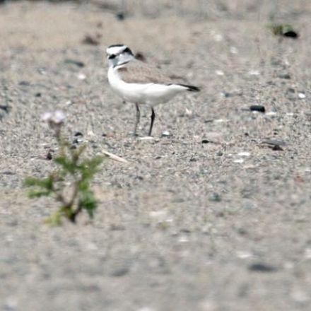 Rare birds find Southern California Beach Housing