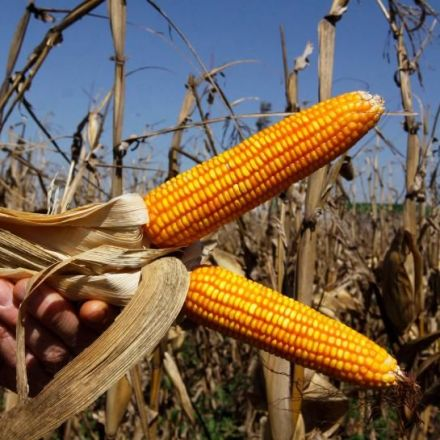 Vomitoxin makes Nasty Appearance for U.S. Farm Sector