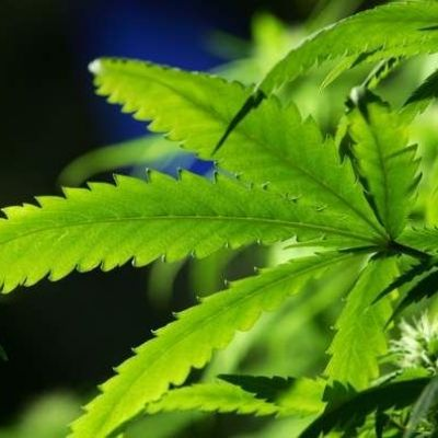 Oxford University launches £10m marijuana research programme