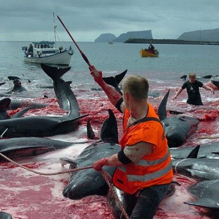 Sea Shepherd Wants Denmark Held Accountable for Whale Slaughter