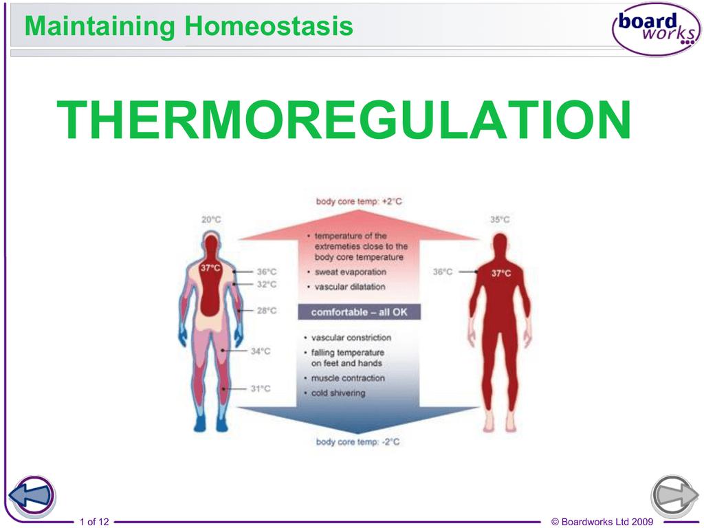 Latest Regulation Homeostasis Regulation Of Body Temperature