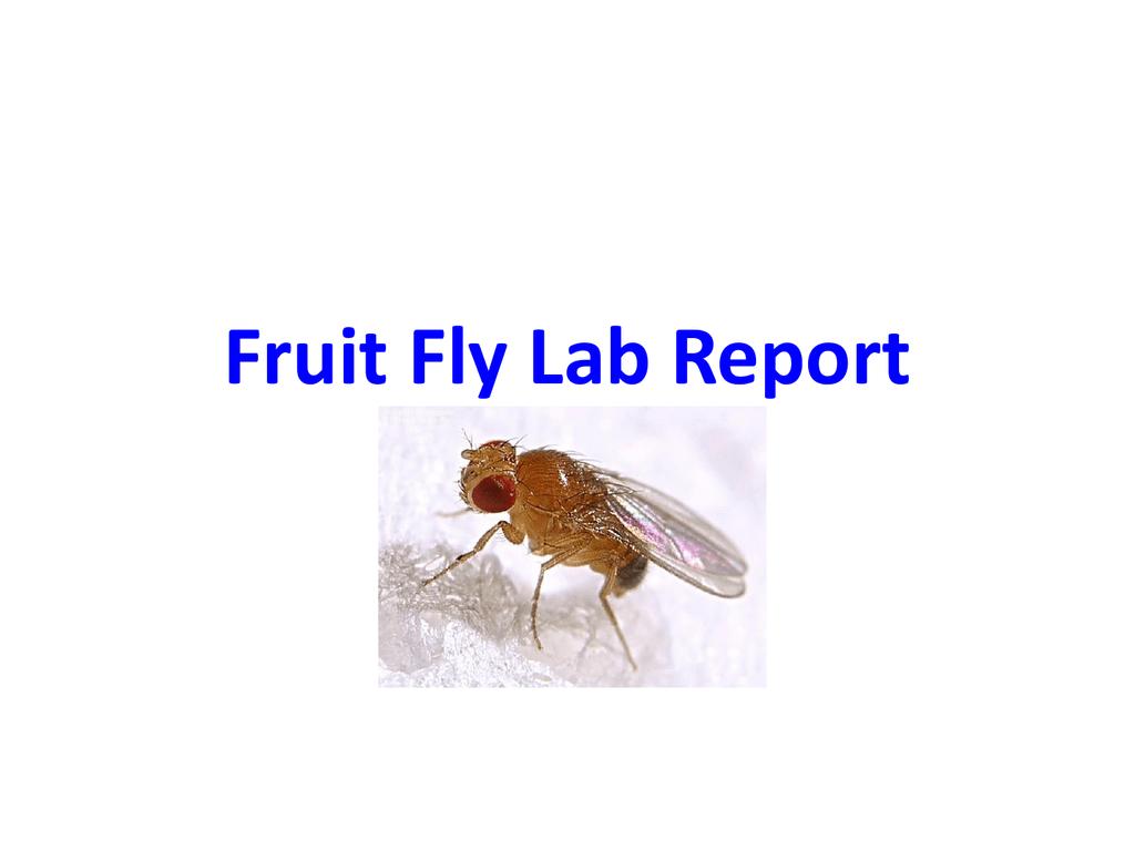 Fruit Fly Lab Report Basics